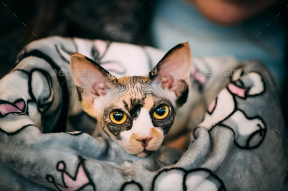 Hairess Sphynx Cat Kitten Snugly Wrapped In A Blanket - Stock Photo - Images