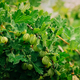 Growing Organic Berries Gooseberries Closeup On A Branch Of Goos - PhotoDune Item for Sale