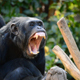 Common Chimpanzee Yawning - VideoHive Item for Sale