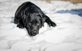 Lab puppy on the snow - PhotoDune Item for Sale