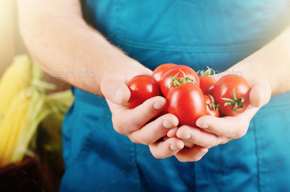 Farmer hold fresh organic tomatoes in his hands. Vegetable harve - Stock Photo - Images