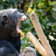 Chimpanzee in a Tree Yawning - VideoHive Item for Sale