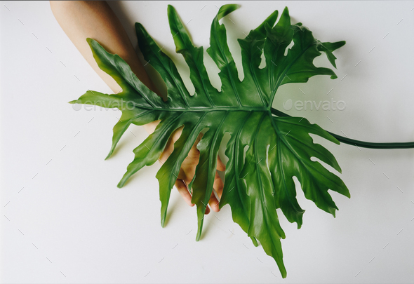 Hand is touching a selloum leaf on white background - Stock Photo - Images