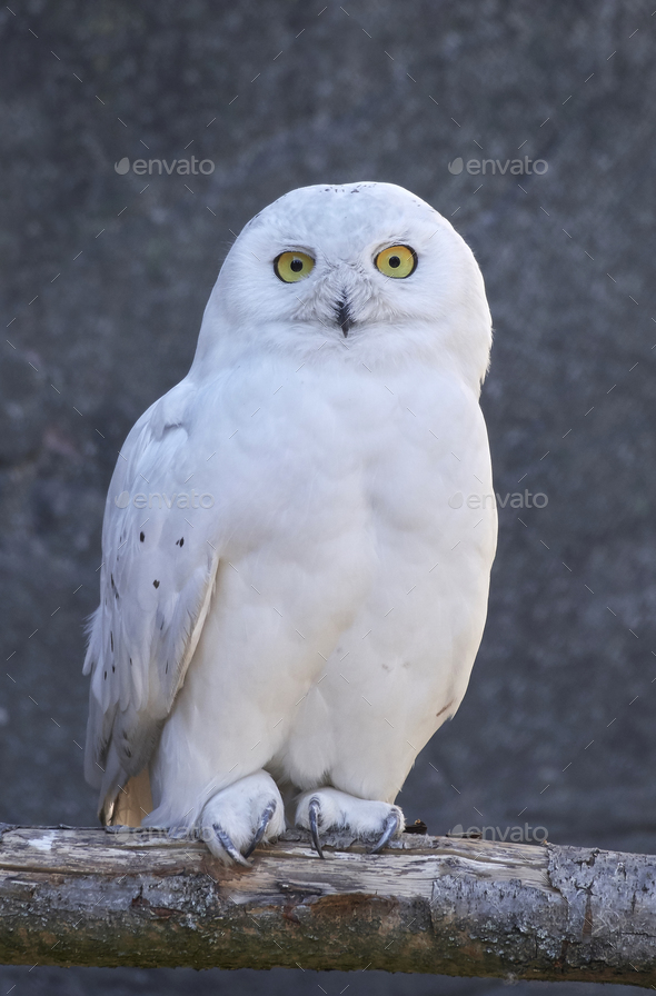 Snowy owl (Bubo scandiacus) - Stock Photo - Images