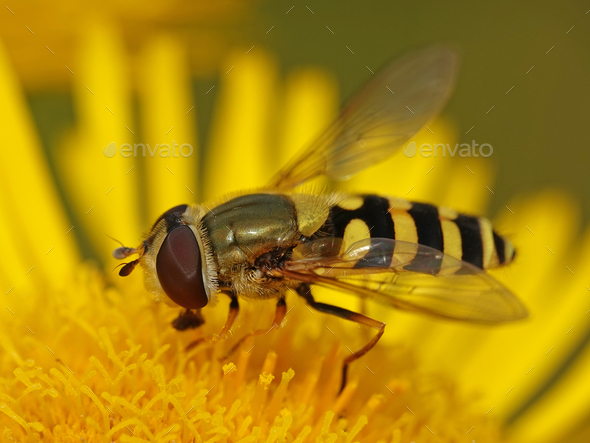 Common banded hoverfly (Syrphus ribesii) - Stock Photo - Images