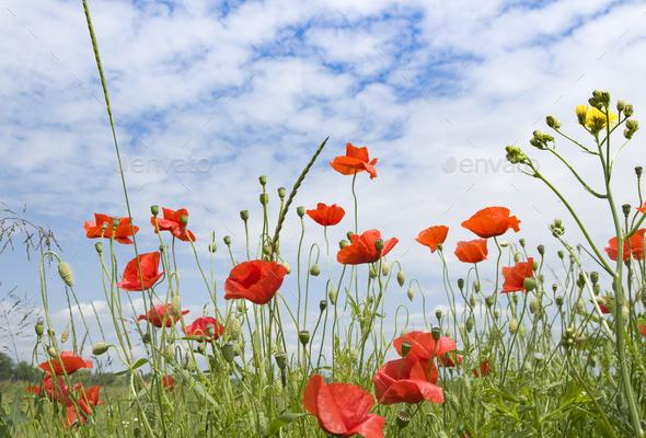 flower poppy - Stock Photo - Images