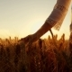 A Young Woman's Hand Running Through Wheat Field. Girl's Hand Touching Wheat Ears - VideoHive Item for Sale