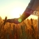 A Female Hand Touches a Wheat Spike in a Field Against a Sunset Background - VideoHive Item for Sale