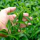Tea leaves in garden. - PhotoDune Item for Sale