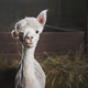 Alpaca on the farm - PhotoDune Item for Sale