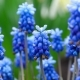 Blue Flowers Muscari with Raindrops - VideoHive Item for Sale