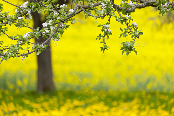 Apple Tree And Dandelion Meadow In Spring - Stock Photo - Images