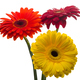 Flowers gerbera multi-colored isolated - PhotoDune Item for Sale