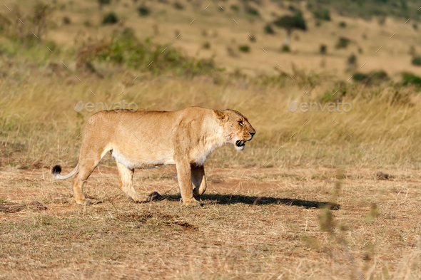 Lion in National park of Kenya - Stock Photo - Images