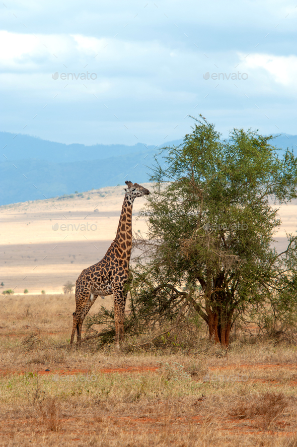 Giraffe in National park of Kenya - Stock Photo - Images