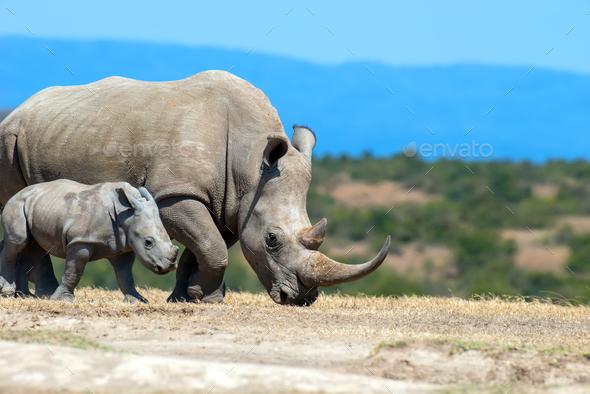 African white rhino - Stock Photo - Images