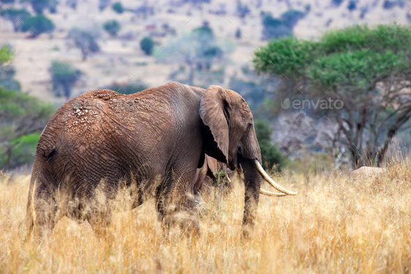 Elephant in National park of Kenya - Stock Photo - Images