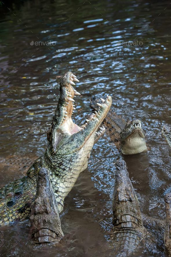 Crocodile in National park of Kenya, Africa - Stock Photo - Images