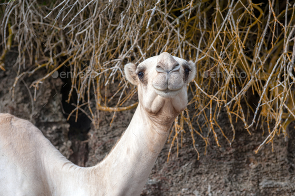 Close camel head - Stock Photo - Images