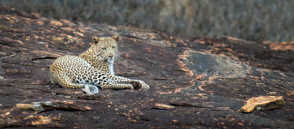 Leopard in National park of Kenya - Stock Photo - Images