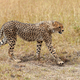 Wild african cheetah - PhotoDune Item for Sale