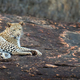 Leopard in National park of Kenya - PhotoDune Item for Sale