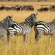 Zebra on grassland in Africa - PhotoDune Item for Sale