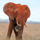 Elephant in National park of Kenya - PhotoDune Item for Sale