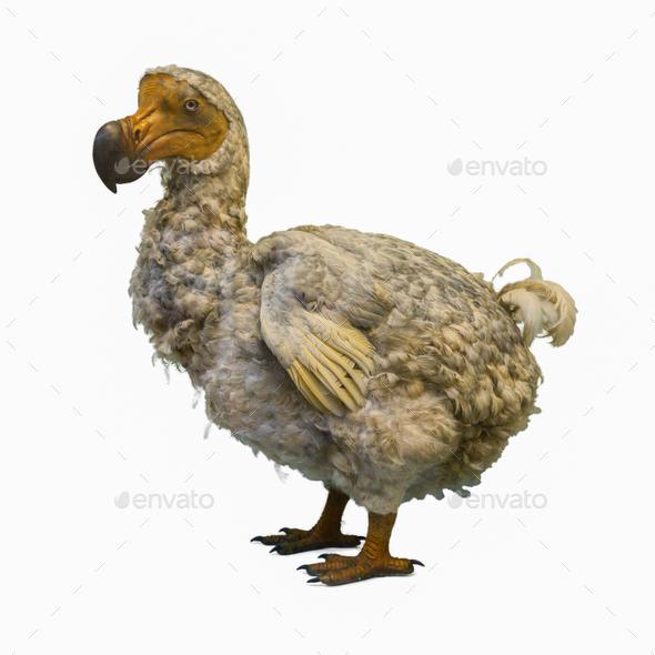 Dodo Raphus cucullatus - Stock Photo - Images