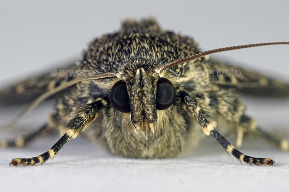 Svensson's copper underwing moth (Amphipyra berbera) - Stock Photo - Images