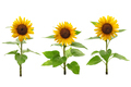three sunflowers - PhotoDune Item for Sale