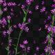 Growing Purple Flower - VideoHive Item for Sale