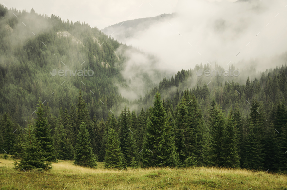 Fog over mountain pine forest - Stock Photo - Images