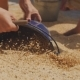 Grain Pours Into the Bucket. Women Gather the Grains of Barley in a Bucket. - VideoHive Item for Sale