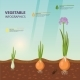Infochart Poster with Onion Growth Stages