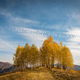 Group of yellow birch trees in the autumn. Transylvania, Romania - PhotoDune Item for Sale
