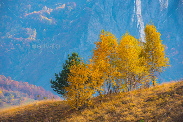 Autumn landscape with group of birch trees, Transylvania, Romania - Stock Photo - Images