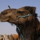 Head of Brown Camel in Wild Desert . Muzzle of Camel in Sahara Desert - VideoHive Item for Sale