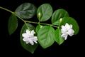 jasmine tea flower, arabian jasmine, jasminum sambac - PhotoDune Item for Sale