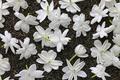 making jasmine tea, green tea with arabian jasmine flower - PhotoDune Item for Sale