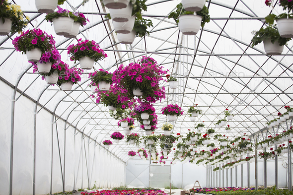 Flowers in greenhouse - Stock Photo - Images