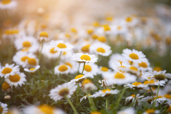 Daisy flower on green meadow - Stock Photo - Images