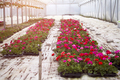Flowers in greenhouse