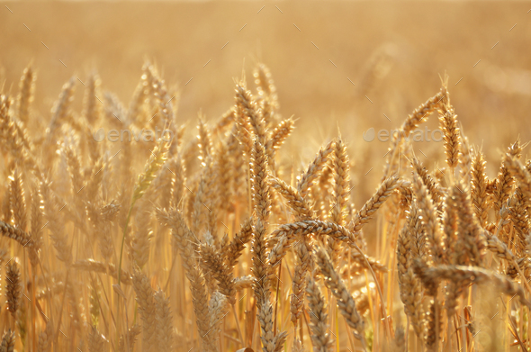 Wheat field under cloudy blue sky in Ukraine - Stock Photo - Images