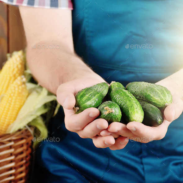 Farmer hold fresh organic cucumbers in his hands. Vegetable harv - Stock Photo - Images