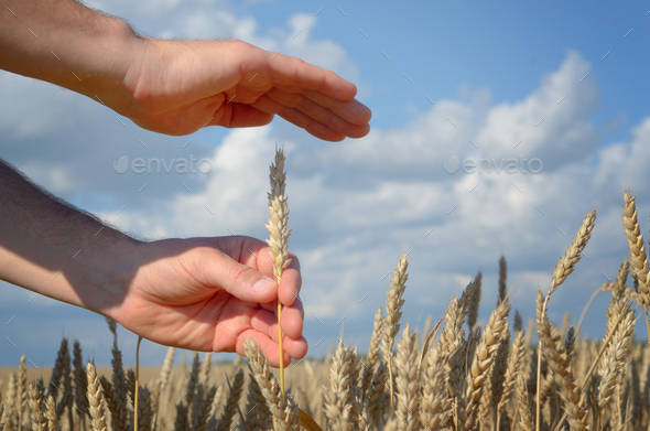 Human hands with wheat ears. Crop protection and care concept - Stock Photo - Images
