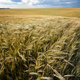 Barley field under cloudy blue sky in Ukraine - PhotoDune Item for Sale