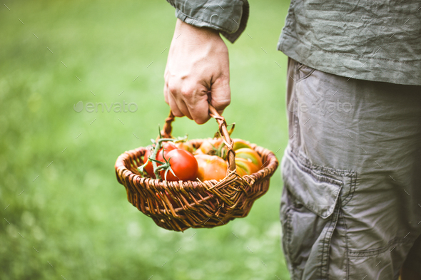 Tomatoes - Stock Photo - Images