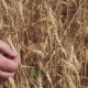 of Agronomist's Hand Rips Off Several Ears of Wheat on Dry Field - VideoHive Item for Sale