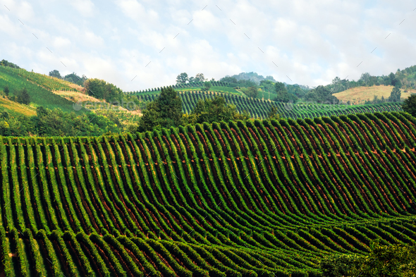 Amazing rural landscape with green vineyard - Stock Photo - Images